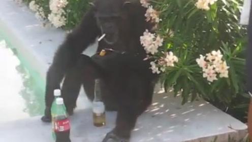 大猩猩坐在地上喝啤酒,路人给它一包烟,大猩猩:我也有我的故事