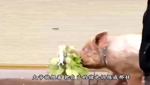 农村大爷养了只神奇的猪,懂人话会才艺,就靠它养家糊口了
