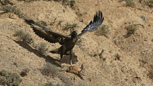 老鹰死死抓着小海豹的脚不让走,海豹急速赶来,画面十分感人
