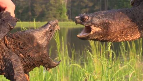 鳄龟到底有多凶猛,看到这只小白鼠的遭遇,以后再也不敢养了?