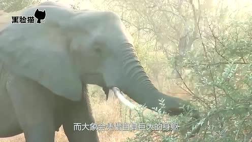 狮群捕杀小象,象首领率领象群赶来营救,狮群落荒而逃