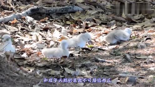 天鹅宝宝拒绝下水,路人心急帮忙,天鹅爸妈的反应让众人傻眼了