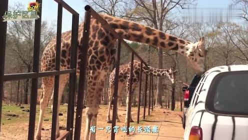 长颈鹿向车内游客讨食,意外的事情发生了,镜头拍下全过程