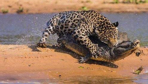 太刺激了吧,美洲豹上演潜伏大片,杀的鳄鱼错手不及