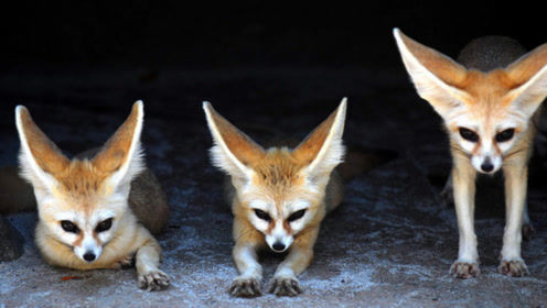 狡猾的狐狸想吃猫,偷袭不成下一秒却尴尬了!