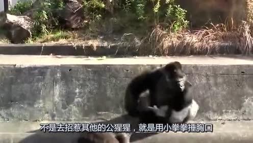 大猩猩恋爱后!就没有消停过!工作人员都没办法