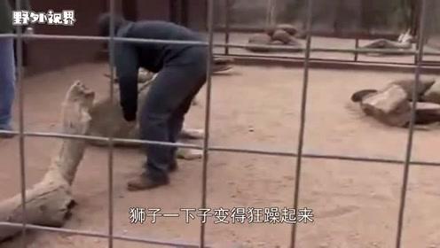 男子摸了摸狮子,不料狮子突然发狂,镜头拍下全过程