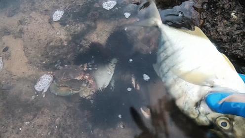 小志今天赶海收获爆桶了,海胆、猪仔螺、螃蟹上不停,真过瘾