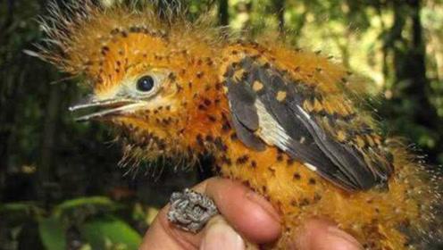 幼鸟模仿毒毛虫姿态完美无瑕,堪称自然界最强伪装毫无违和