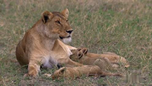 在把幼狮移到新的地点时,被鬣狗发现了,母狮当机立断