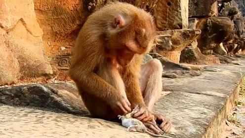 小猴子抓到一只老鼠,不断的在地上进行摩擦,老鼠:有苦说不出!