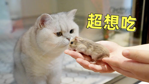 小仓鼠在多猫家庭讨生活,笼外的猫天天都想吃自己,是什么体验
