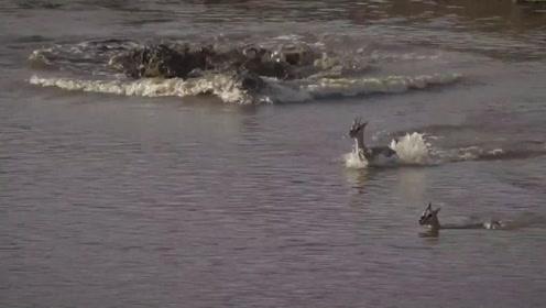 危机时刻,瞪羚群杀出一勇士为兄弟阻挡鳄鱼,牺牲小我保存族群