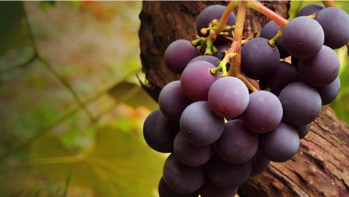 果农自己都不吃的葡萄,有这3个特点,你千万不要买
