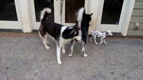新来的小斑点狗 绝对家里的焦点