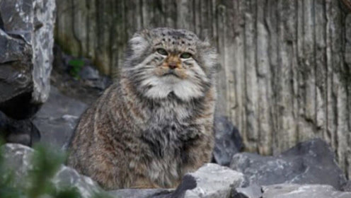 """这种猫的动作太慢了,遇到敌人根本逃不了,只能""""定""""在地上!"""