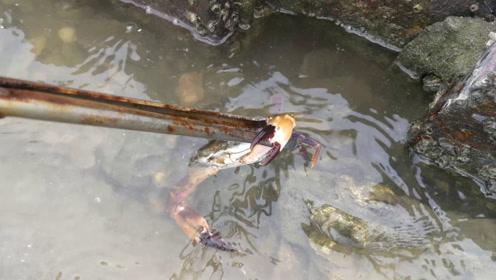 虎子到养殖场赶海,蚝堆下藏了不少螃蟹,一下抓个爽