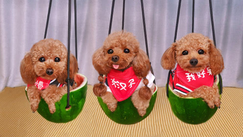 主人用西瓜皮给3只狗狗做秋千,汪星人坐上后不敢动,傻了一样!