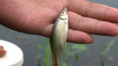 钓鱼:河边的野塘,麦穗儿泛滥,扔哪都是一顿狂咬啊!