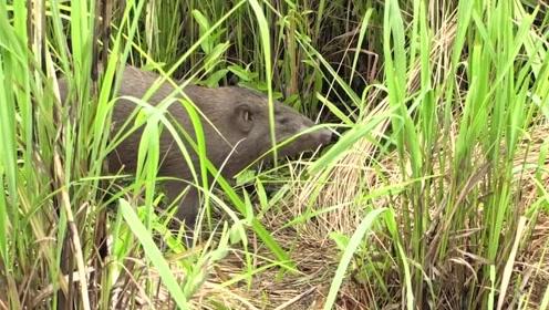 最小野猪体型如鼠,全球仅存百余只世界稀有