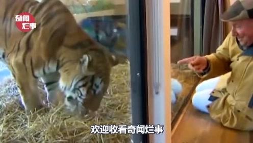 饲养员为了让老虎有野性,将活兔丢进虎笼,老虎的反应让人傻眼了