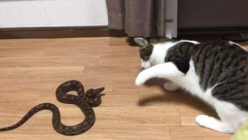 猫为什么不怕毒蛇呢?看下猫捕抓蛇的过程,你就明白了!