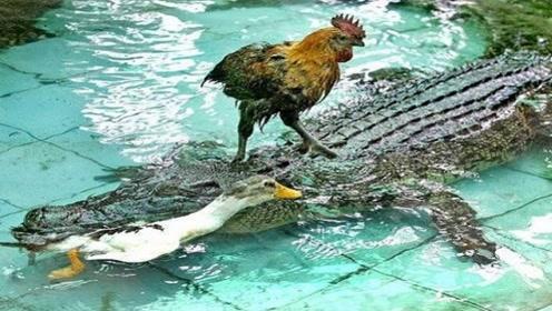 """一群鳄鱼在岸上晒太阳,一只鸡""""作死""""乱入,鳄鱼们瞬间""""疯狂"""""""