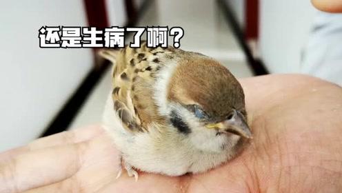 下暴雨捡到一只小麻雀,小麻雀从萎靡到精神十足,最后回归自然