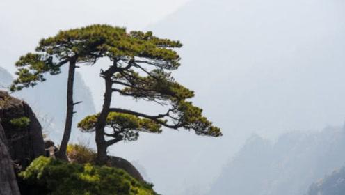 全球最珍贵的一棵树,20多名警卫守护,掉下一片叶子都要上报