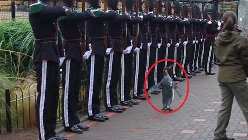 全球最牛的企鹅,获准将军衔地位高得吓人,连军官见它都要敬礼