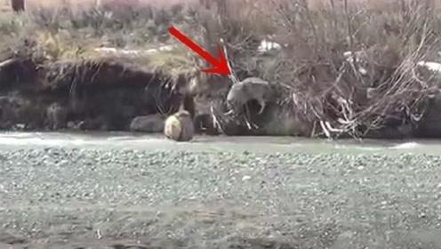 一只鹿躲避狼追杀站河里,没想到狼直接下水?结果却尴尬了!