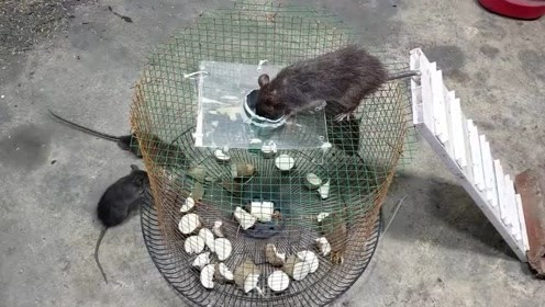 太聪明了!乡下人用铁笼子设陷,老鼠们有来无回