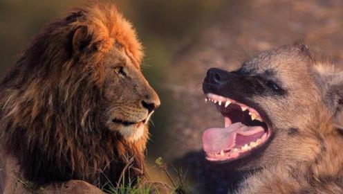 狮子跟鬣狗的正面pk,非洲大陆上究竟谁更厉害?