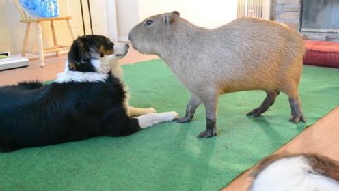边牧家中来了只水豚,却被吓得不敢吭声,结果亮了