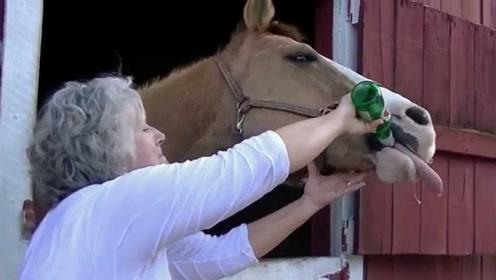 马喝下啤酒会是什么反应?镜头记录全过程,看完结果笑出声!