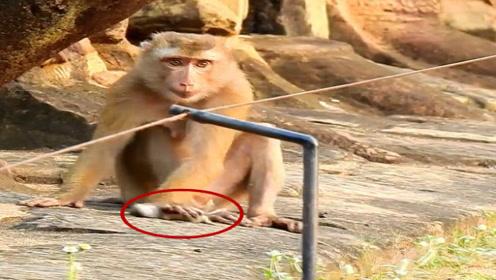 一只老鼠被猴子抓住,接下来猴子的举动实在是太搞笑了!