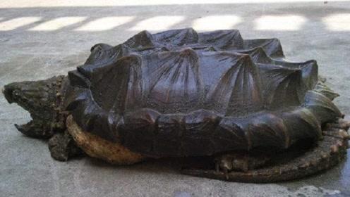 """西汉古墓惊现""""千年神龟""""体型大到惊人,专家:头回挖出活物!"""