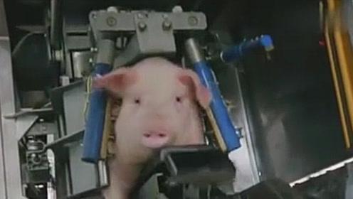 """实拍流水线杀猪,全程无痛感,成功""""飞升""""为二师兄"""