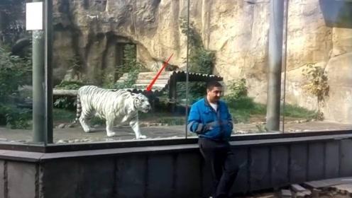 小伙作死背对着白虎拍照,下一秒白虎冲了过来,意外发生了!