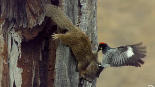 啄木鸟的食物被偷,小偷被抓个现行,被啄木鸟一顿暴揍!