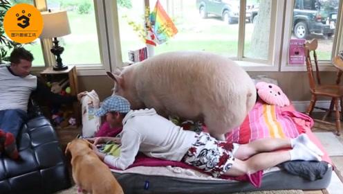宠物猪重300公斤,主人为其花100万买农场,这年头人不如猪