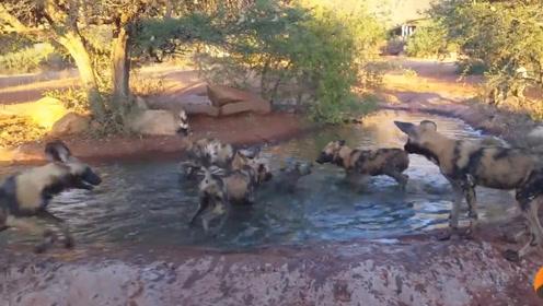 野猪正在水里泡澡,没想到被野狗群发现了,野狗:洗洗吃了更干净