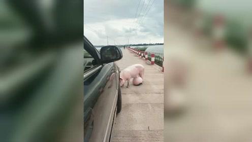 这只猪到底是怎么了,肚子大得离谱!网友:肚子里装了个西瓜