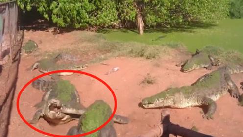 饲养员忘了喂食鳄鱼,没想到它竟对同类下手,镜头拍下全过程