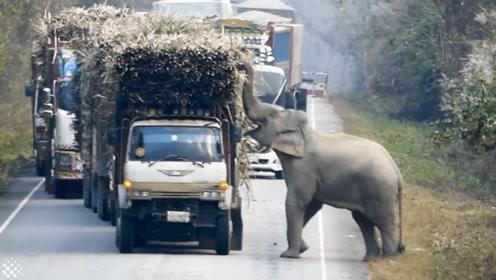 大象闲来无事就堵车,路过司机纷纷避让,这一看就是老手