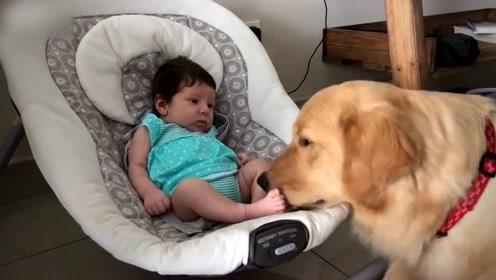 金毛第一次看到小宝宝,狗狗的反应太有爱了
