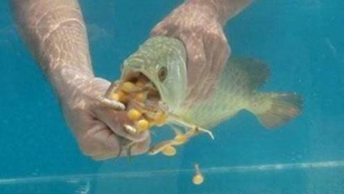 金龙鱼不吃不喝,让男子很担心,没想到扒开嘴一看,顿时乐坏了