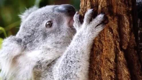 挑食考拉濒临灭绝,科学家用便便拯救了它们