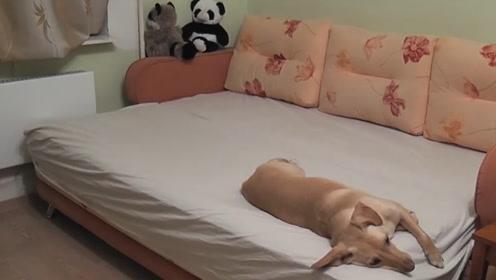 主人用摄像机记录狗狗独自在家的情形,画面让主人瞬间泪目