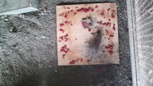 老外将死神辣椒切成碎片给老鼠吃,结果出乎意料!镜头记录全过程